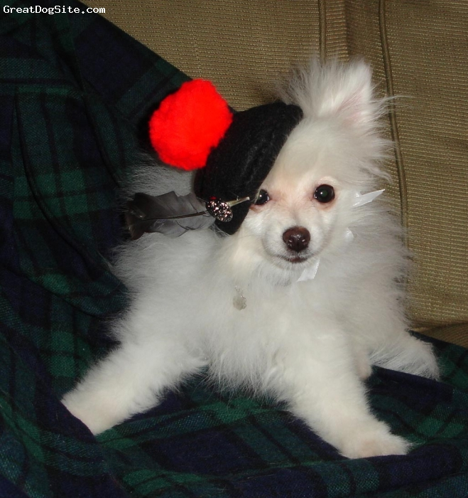 Pomeranian, 4 months, white, Beauty is a boy but a beauty just the same. He has brought such joy into our lives and everyone loves him. The hat was for the Scottish festival, he was the center of attention.