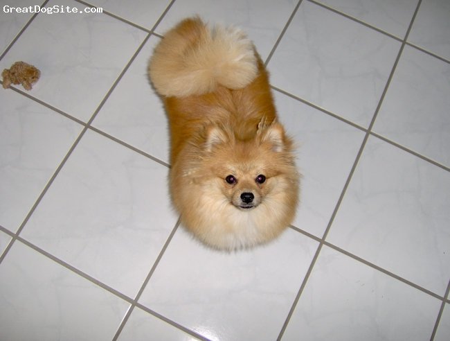 Pomeranian, 10mo, red, Hes Always Into Something