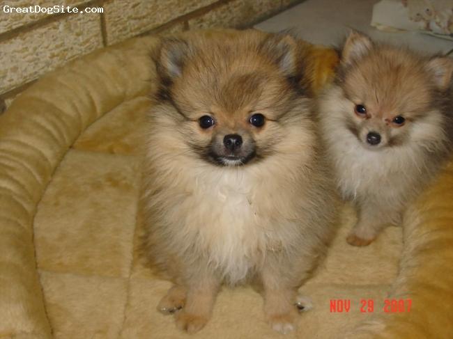 Pomeranian, 12 weeks, orange sables, Miracle and Wolfman at