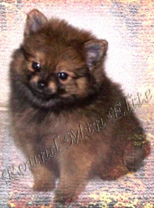 Pomeranian, 8 Weeks, Org Sable, Buster is available now and ready for his new home. Please visit our web site at for more information & photos.