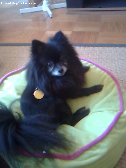 Pomeranian, 11, Black, Bright, very inquisitive and has a great sense of humor!!