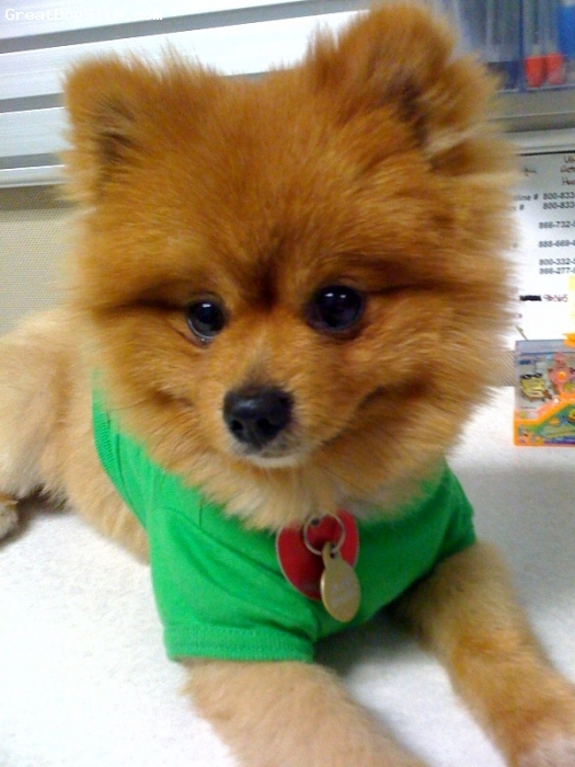 Pomeranian, 1, Tan, My name is Kochi and I just moved from VA to CA with my new momma and daddy!  They love me so mcuh and I love them too!