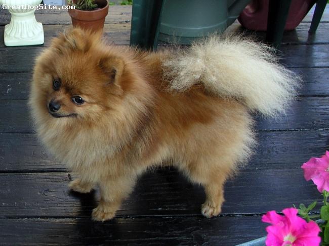 Pomeranian, 1 yr, Orange sable, My lovable boy