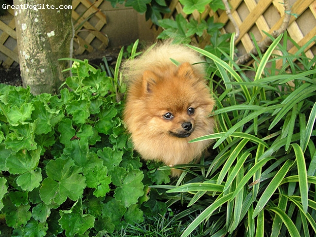 Pomeranian, 1 yr, Orange sable, Munchie loves bushes