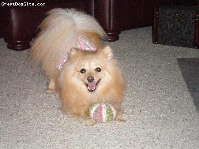 Pomeranian, 3, Sable, Just a ball of love...Greatest personality I've ever seen in a dog!