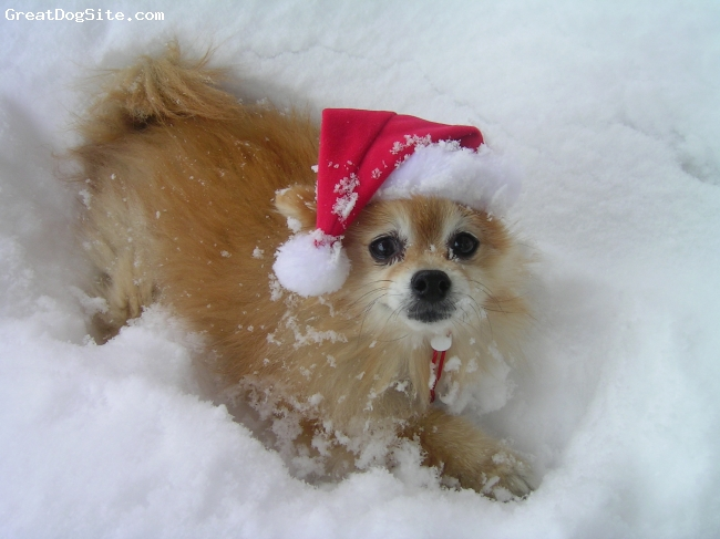 Pomeranian, 15, Red, Boomie loves Christmas and snow... she has been a delightful joy in our lives.