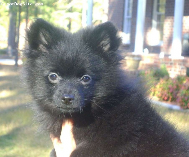 Pomeranian, 4, black, We rescued her from being put down she was hit by a car and brought to a vet and they saved her she lost a leg but she is so playful and can run the yard like crazy gets along with everyone except squirrel she hates the little bugers I want to find her a good home so that she can live out her life I travel alot and want her to have a good home.