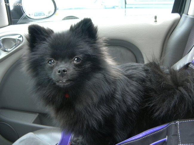 """Pomeranian, 7 months, Shiny Black, Our little pampered pet, 12"""" tall and 4 pounds of fluffy black beauty."""