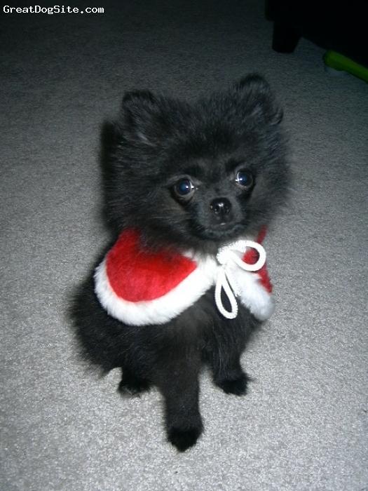 Pomeranian, 3 months, Black, Christmas picture