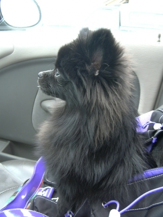 Pomeranian, 7 months, black, Watching for Daddy