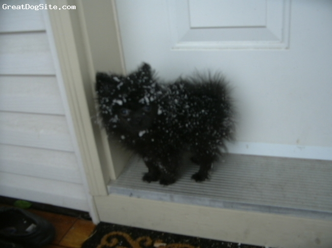 Pomeranian, 4 months, Black, I love the snow