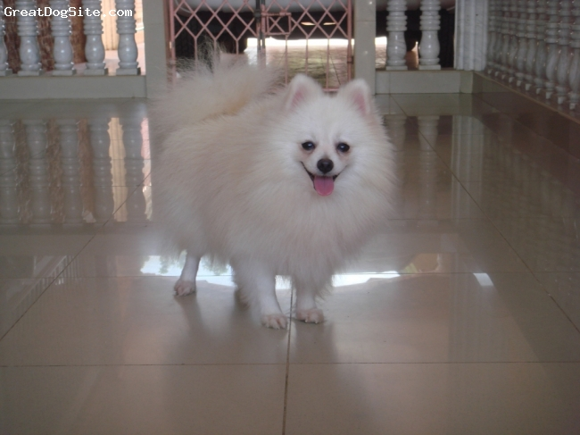 Pomeranian, 2 Yrs Old, White, Cute & Healthy