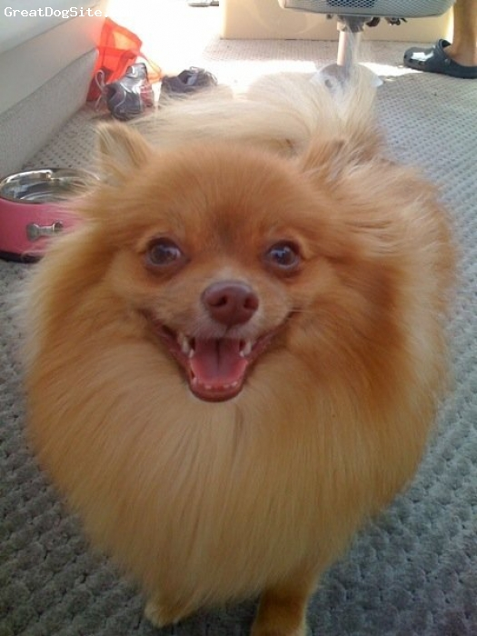Pomeranian, 11 months, Gold/Tan, Loving, eccentric pom . she's a princess and lets you know that she is!