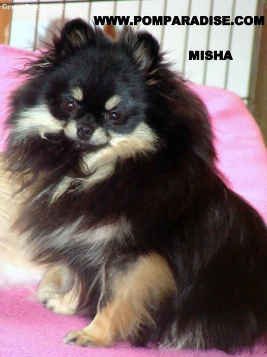 Pomeranian, 18 months old, Black n Tan, Misha from