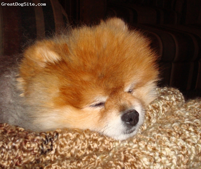 Pomeranian, 8, orange sable, sleeping peacfully on mommy's new blanket : )