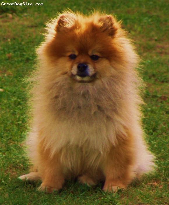 Pomeranian, 8, orange sable, sitting pretty in the sunshine!