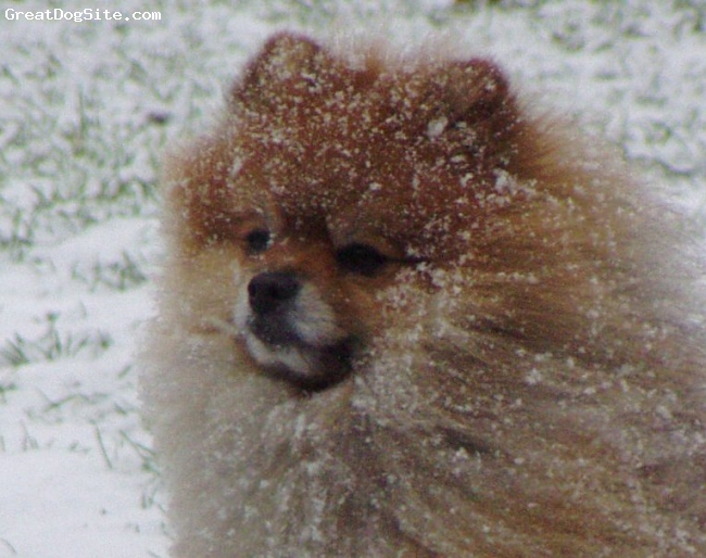 Pomeranian, 8, orange sable, cathcing snowflakes!