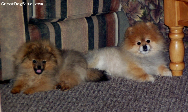 """Pomeranian, 8, orange sable, """"I didn't ask for a new baby brother.... but, let me show you how to pose. Mommy loves her camera"""""""