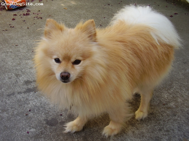 Pomeranian, 9 YRS OLD, CREAM, SMALL, 10 LBS A VERY SPIRITED & LOYAL DOG, FULL OF ENERGY AND ACTIVE. SPEND PLENTY OF TIME RUNNING AROUND IN THE HOUSE.