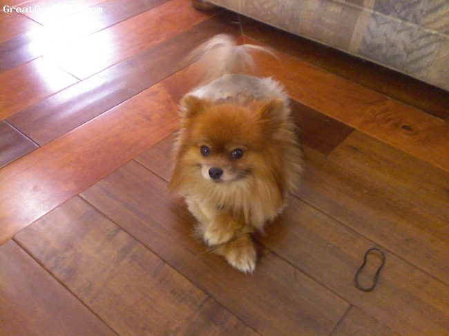 Pomeranian, 4, Brown, my baby