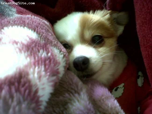 Pomeranian, 3, White with red, Crystal all wrapped up in a warm blanket..thats where we always find her.