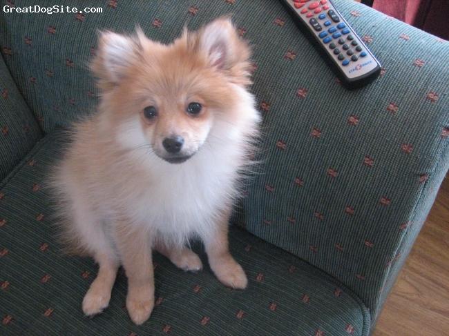 Pomeranian, 3 mon, tan/red, ma baby!