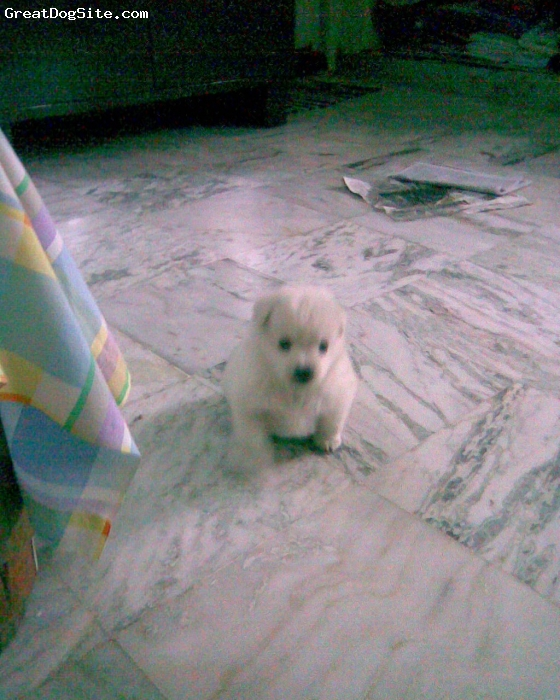 Pomeranian, 2 months, White, she is so cute nd always do funny things.........