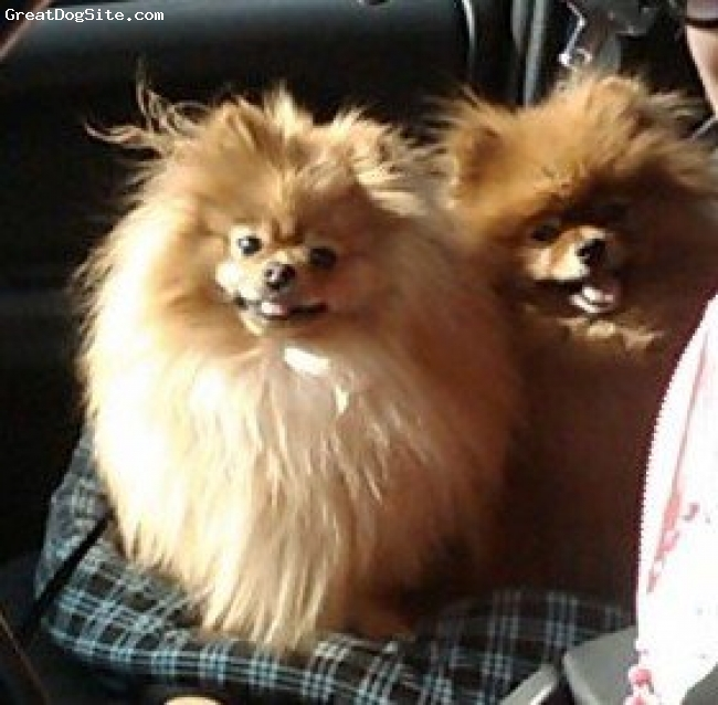 Pomeranian, 1 Year, Red, This is another Photo with my oldest Pom Vicky! They are always smiling!