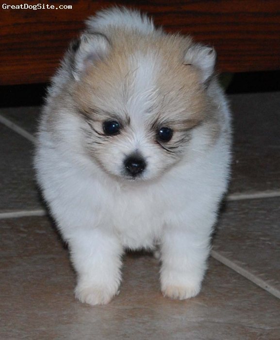 Pomeranian, 6wks, Orange Sable Parti, This is Chandler.  He is a beautiful orange sable parti boy.  He is such a doll and has everything going for him.  He has a great coat and nice bone.  He is out of an orange dam and a tri sire.  He is small and compact.  What a beautiful face and the personality to go with it.
