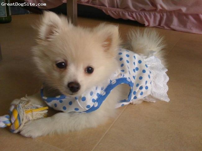 Pomeranian, 9 weeks, White, Pancakes is a white pomeranian.