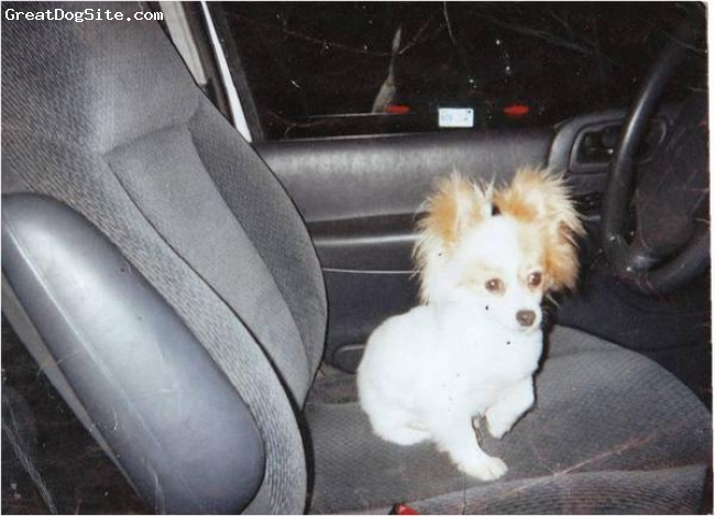 Pomeranian, 8, white, i love her dnt have nomore