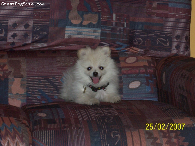 Pomeranian, 3 years, White, nother photo