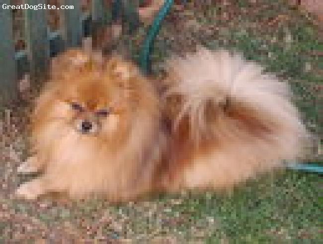 Pomeranian, 2 1/2 years, Sable, Bundle of joy and energy