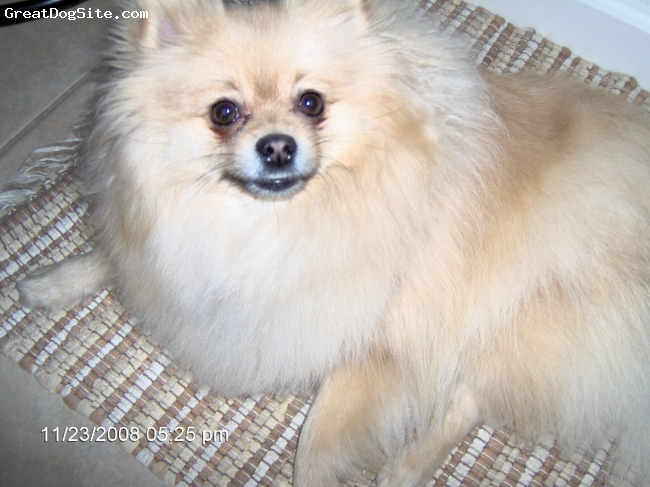 Pomeranian, 4, sable, small, spritz, fluffy hair type, learns easy, he understands lots of word...likes to bark, & likes to be around me, likes attention, he's my special little dog...love him much