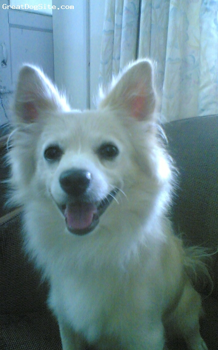 Pomeranian, 3 yrs, brown, breed with brown colour,n black eyes..