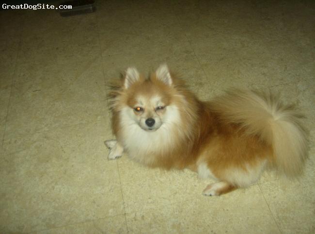 Pomeranian, 2, sable/white, Miss Sassy*