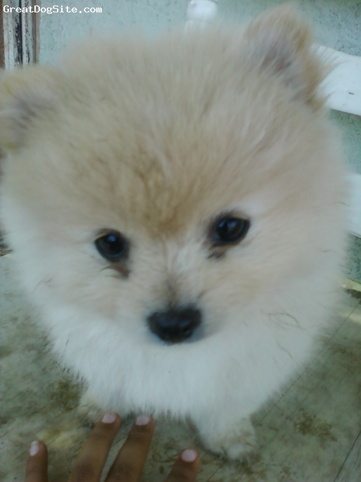 Pomeranian, 3 Months, White, This is my first pomeranian... I'm really happy with him. He is full of life and energy. He is just the cutest thing EVER. honesty, i couldn't be happier!