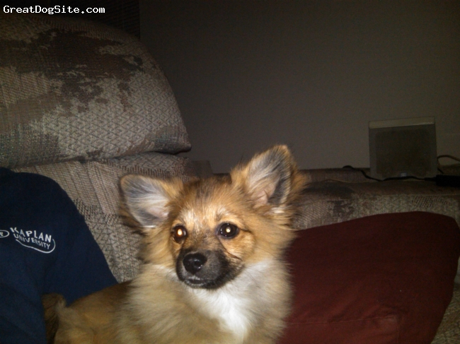 """Pomeranian, 7 months, Cinnamon (not orange),a little bit of white with black throughout, She is the happiest little puppy I have  even owned.  Also not your typical """"yippy"""" little dog.  I am often asked """"what kind of dog is she?"""" because she shares little of the Pomeranian traits. She IS full bred, and papered, yet her coat is smooth, and lite. She is semi-fluffy in the ear region, but thats about it."""