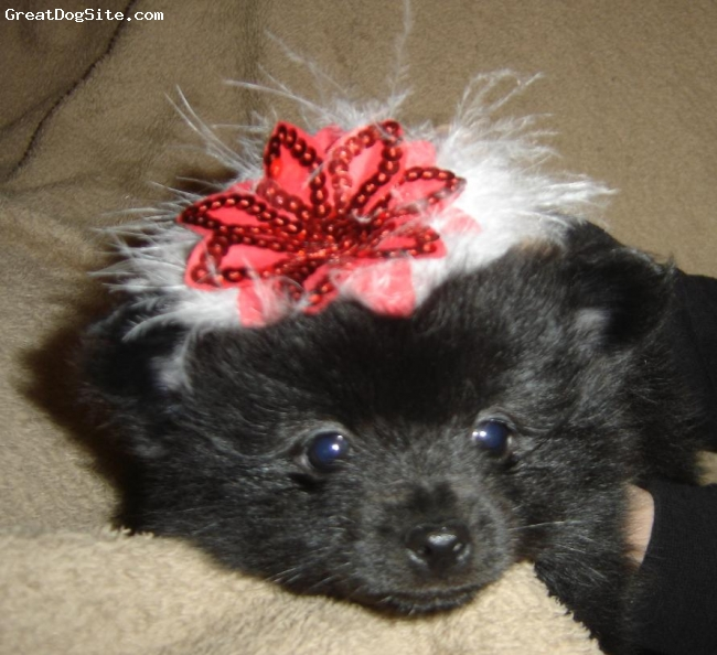 Pomeranian, 6 wks, Black, Ebony has the softest fur, She will turn out to be more like her Sire.  In this picture she is showing off her christmas hat!