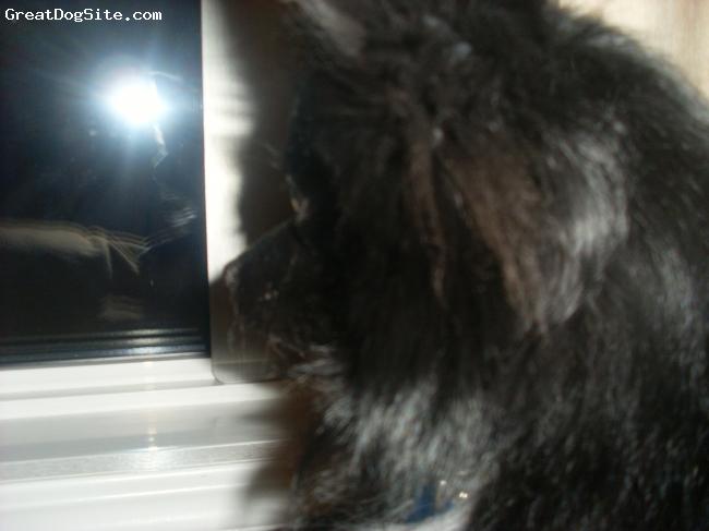 Pomeranian, 1 yr, Black w/ white, We love our Turbo!