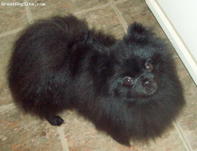 Pomeranian, 2 years old, Black, Owned by Mary Ellen Herbert