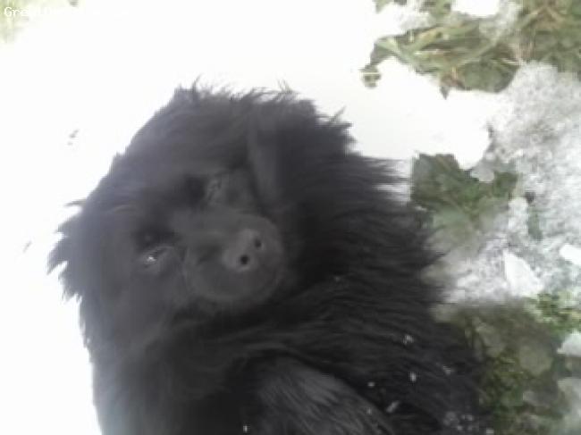Pomeranian, 4, Black, Bear rolling around in the snow...