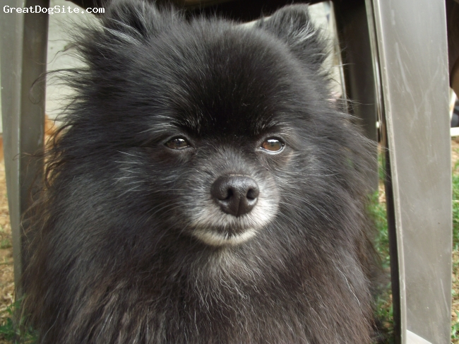 Pomeranian, 4 years, Black with white muzzle, This is my 4 year old pure bred black Pomeranian named Charlie! He`s a fun, sweet little guy and loves to be around every one! He loves his Poshie named Brandy. Charlie loves walks, cuddles, people, going for rides, treats, chasing the Cats, and barking!
