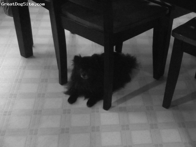 Pomeranian, 4 years old, Black with white muzzle, Charlie my black Pomeranian, AGIAN!