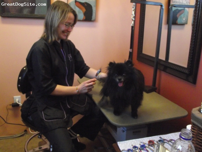 Pomeranian, 4 years old, Black with white muzzle, Charlie (Agian) at the groomers!