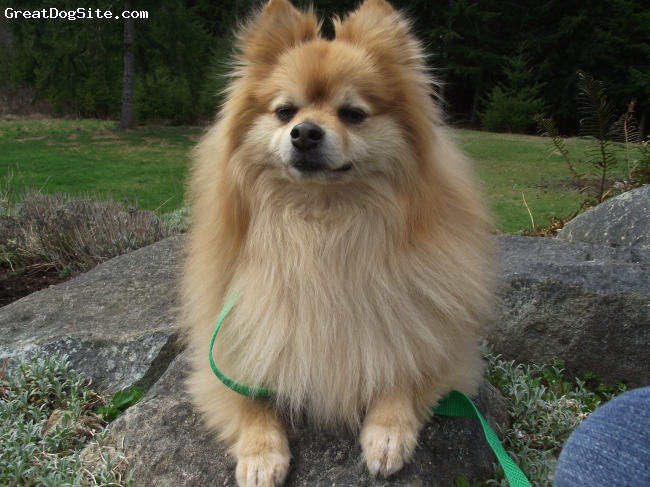 Pomeranian, 6 years old, blond, This is LeRoy, a Throw back Pomeranian that I used to own.
