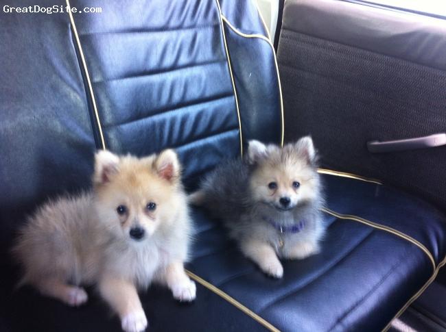 Pomeranian, 3 months, cream, pom siblings
