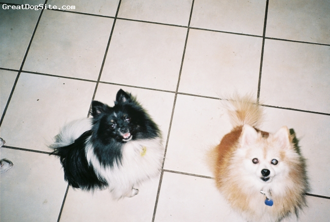 Pomeranian, 9 mos. and 10 yrs., parti-black and white and orange, Friends come in all colors.