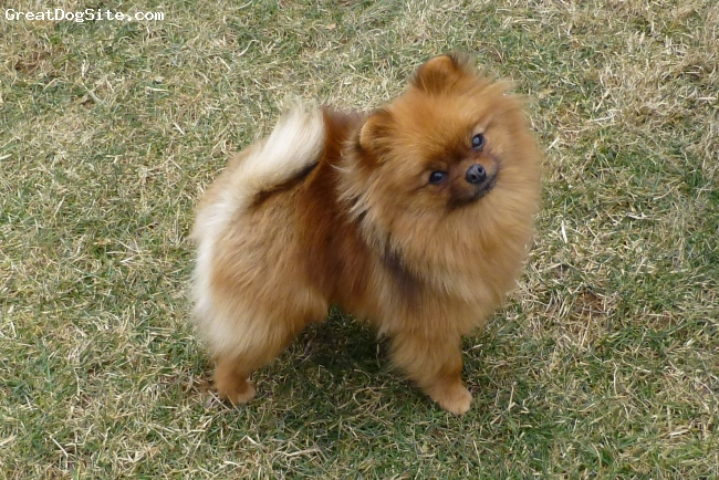 """Pomeranian, 2, Red Sable, Professionally bred for show, she is pointed towards her AKC championship title.  She is NOT for sale.  She is a good example of what the Pom SHOULD look like and her smiling face portrays the sweet, intelligent temperament the Pom SHOULD have.  There is no such thing as a """"Teacup"""" or a """"Miniature"""" Pom…this girl is about the size range they SHOULD be which is between 4-7 lbs.  It is preferred that the girls be at the top of this size & weight."""