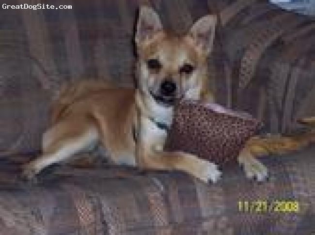 Pomerat, 2, Tan, Grizz is a 2 year old Pomeranian/Rat Terrier mix. He weighs 16 pounds.